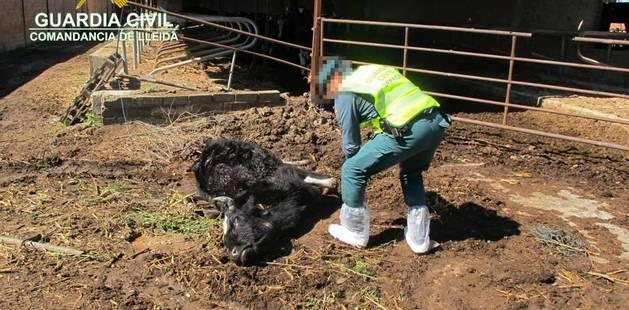 Una de les vaques mortes que han estat trovades