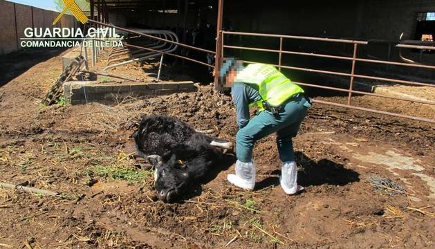 Una de las vacas halladas muertas en la explotación de Torregrossa.