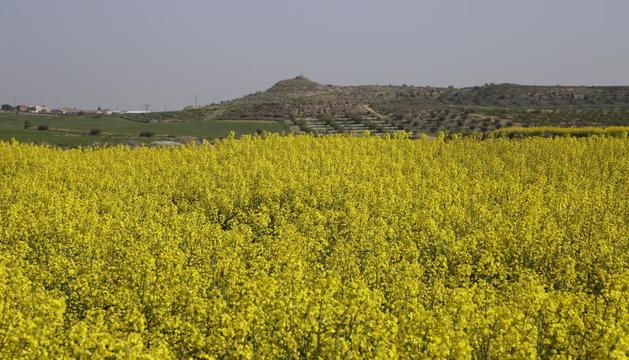 Imagen de un campo de colza en flor en la zona del Urgell.
