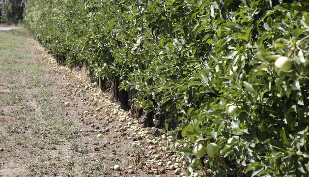Ayer se podía ver en l'Horta esta imagen de manzanas caídas en el suelo tras la tormenta del viernes.