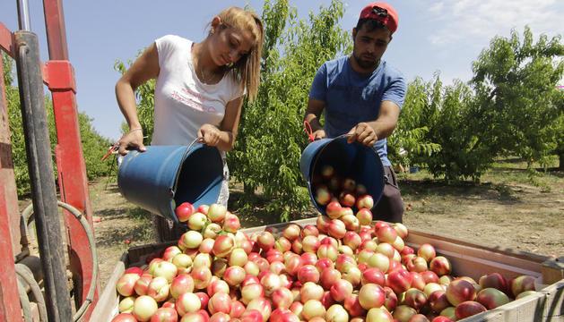 Imatge de l'inici de la campanya de préssecs i nectarines a la província.