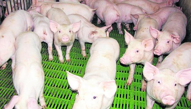 Imatge d'arxiu de garrins en una granja de Lleida.