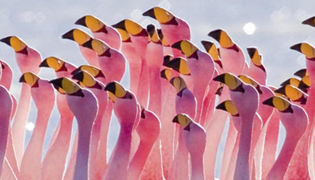 El cartell promocional de l'espectacle de dansa 'Flamingos'.