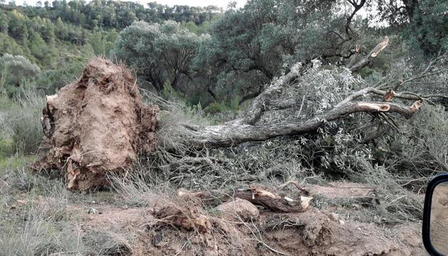 Una olivera arrencada al camí d'Almatret.