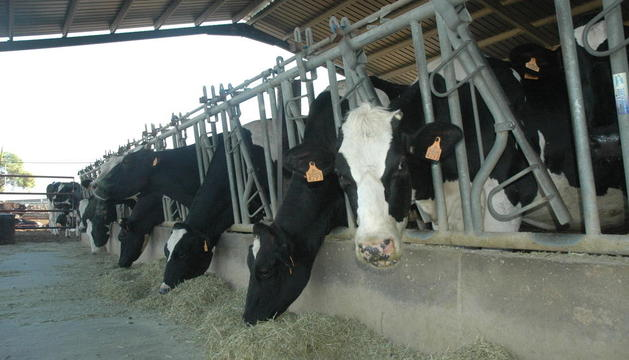 Vaques en una explotació de llet situada a les comarques de Lleida.