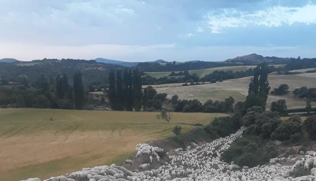 El ramat que baixa des de Castanesa fins a Alcarràs.
