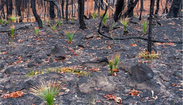 Empiezan a rebrotar plantas en los bosques quemados de Australia