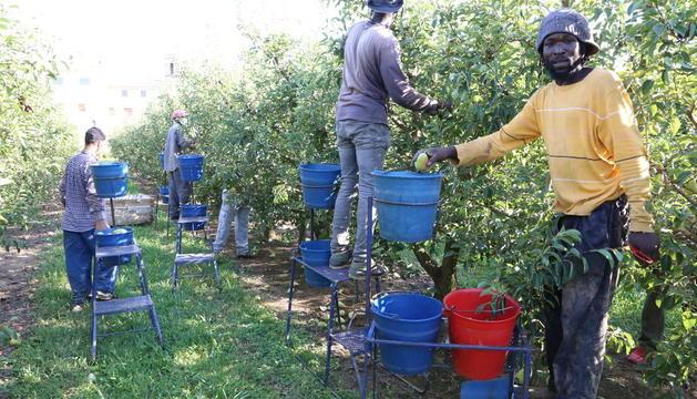 Imagen de archivo de temporeros trabajando en la recolección de fruta en una finca de Albatàrrec.