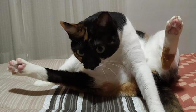 El 'Clip', el gat de la Roser Castells, practica diferents postures de ioga.