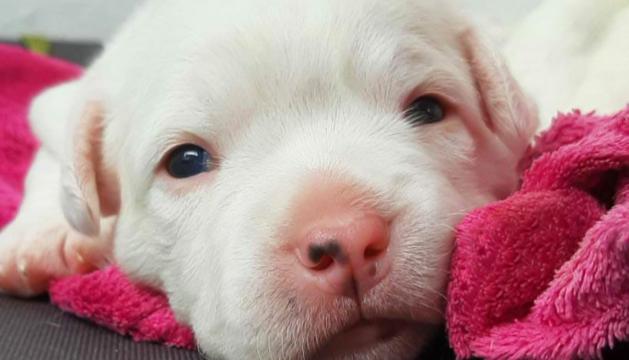 L'Anna Carrasquilla amb aquesta foto del Bebé, un cadell blanc com la llet, ha estat la guanyadora de l'edició d'enguany del concurs 'La meua mascota'.