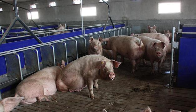 La producció de porcí s'haurà de reorganitzar arran de la caiguda de la demanda xinesa.