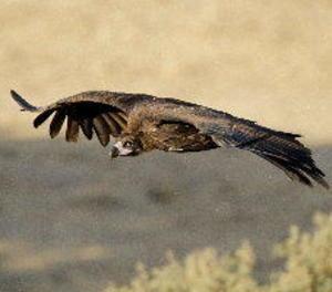 Vuit parelles de voltor negre crien aquest any a la reserva pirinenca de Boumort, al Pallars Jussà