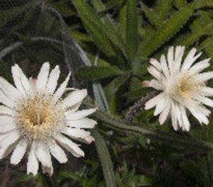 La flor d'un cactus