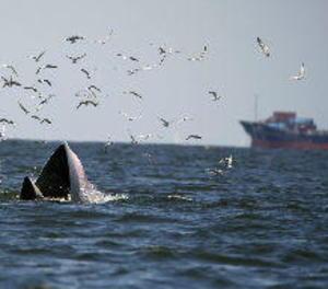 Cada any moren 40 rorquals a la Mediterrània per trànsit marítim