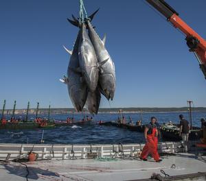 Captura de la tonyina roja.