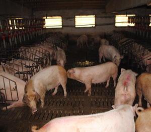 Imatge d'arxiu d'una granja de porcs de Lleida.