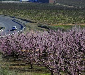 La calor ha avançat la floració dels fruiters. Imatges preses a Seròs el 27 de febrer.