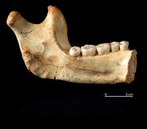 Vista de l'hemimandíbula esquerra d'Homo Antecessor procedent del nivell TD6 de la Gran Dolina d'Atapuerca.