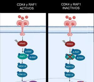 Il·lustració de l'efecte terapèutic abans i després d'inactivar dos gens. A l'esquerra s'observen dos tumors quan l'oncogen 'KRAS' es troba activant els gens CDK4 i RAF1. A la dreta s'observa la desaparició dels tumors després de la inactivació d'aquests gens.