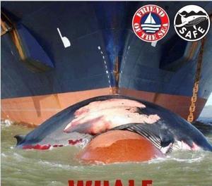 Creen un certificat per evitar que morin les balenes en xocar amb les embarcacions