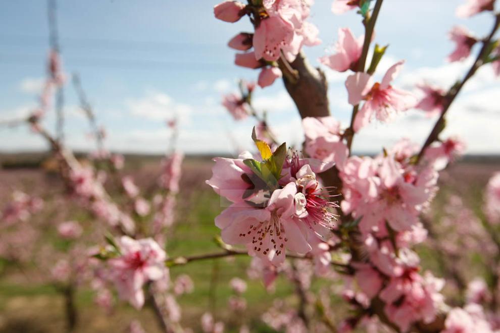 Imatges de la floració dels ametllers d'Aitona