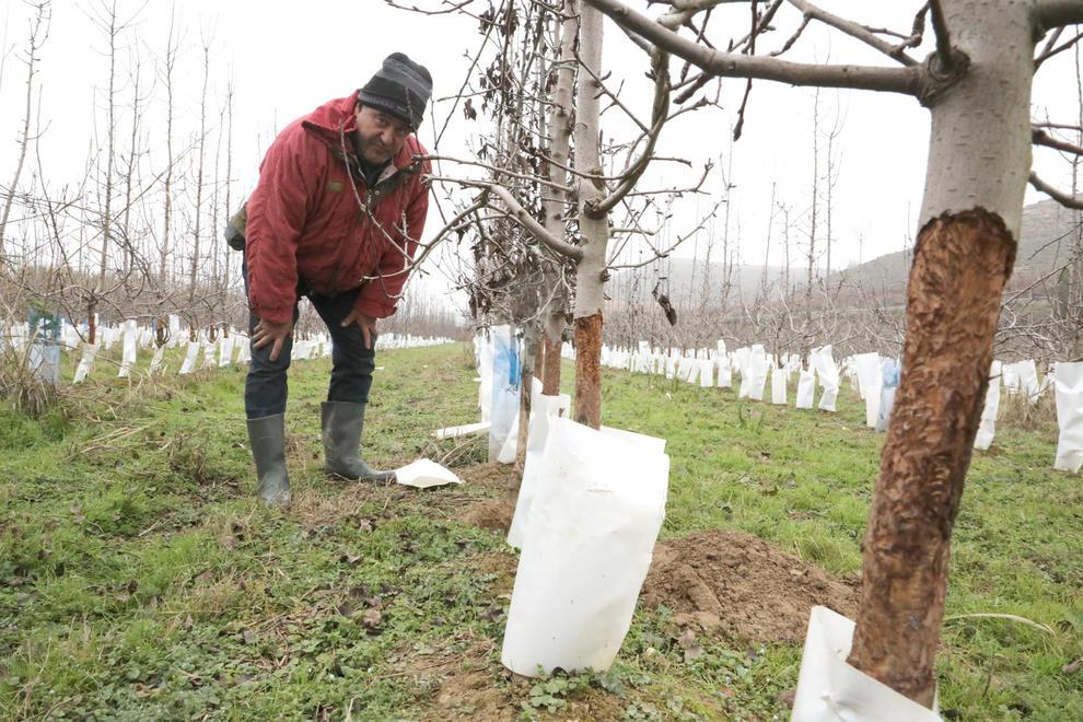 Un agricultor d'Aitona arrancarà una finca de sis-cents arbres per les destrosses