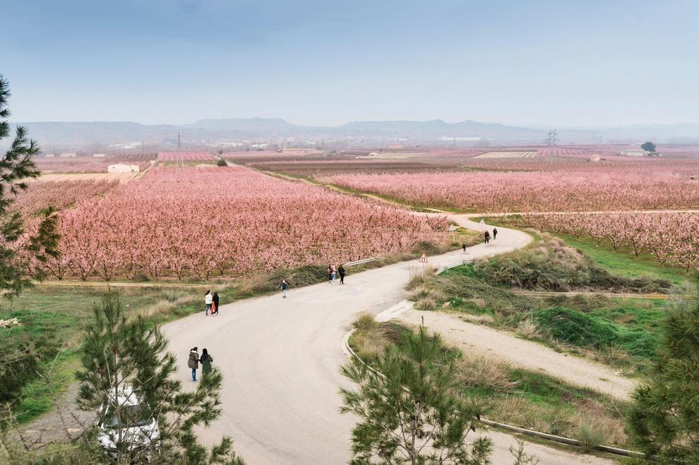 Aitona, Torres de Segre i Montoliu estrenen les rutes per veure els camps rosats
